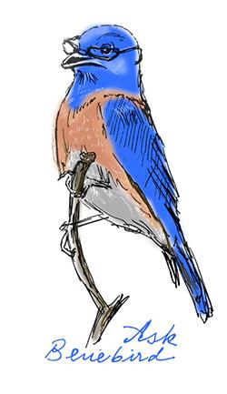 Wise Bluebird